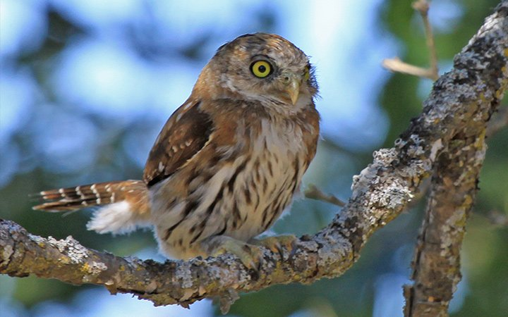 Blue Oak Ranch Reserve Owl