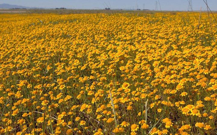 Jepson Prairie Reserve