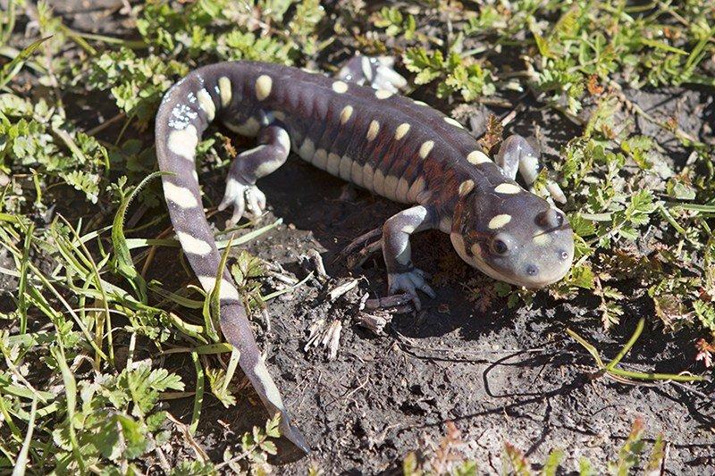 The California tiger salamander