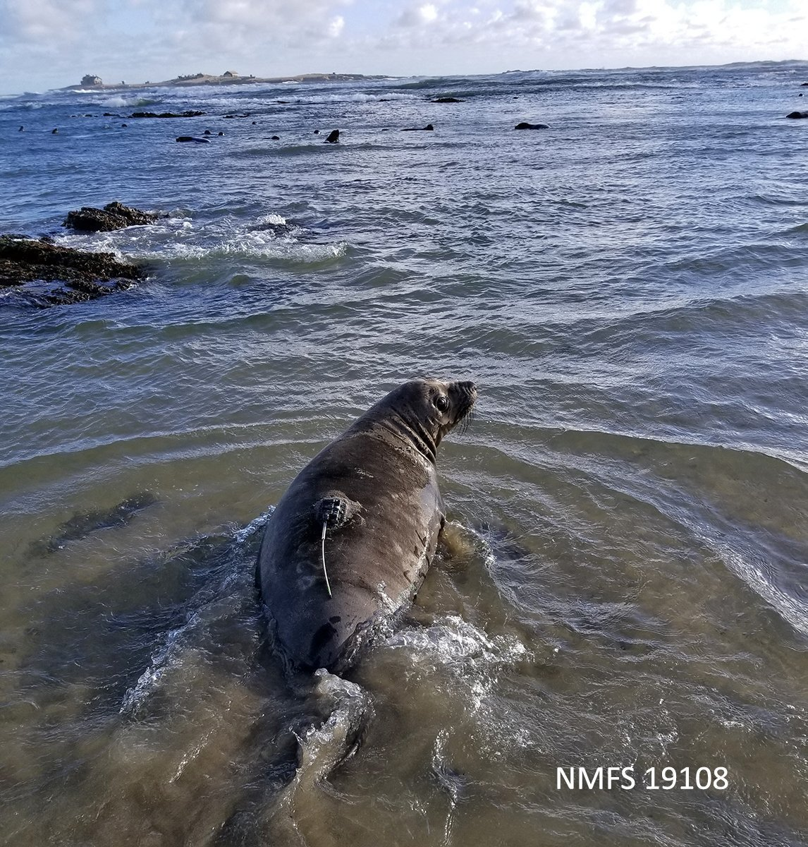 weaned elephant seal pup with transmitter on its back enters ocean waters