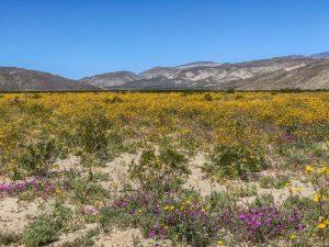Anza-Borrego super bloom