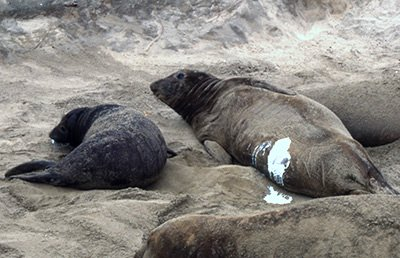 "Elephant seal ""supermoms"" produce most of the population 2"