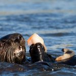 sea otter pathogen