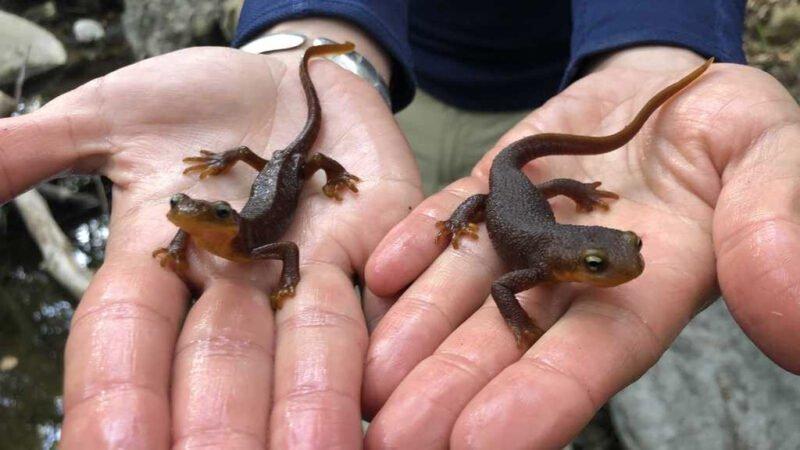 climate change newts