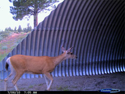 A deer is observed using the underpass at Kyburz Meadows. Photo by Sara Holm, CDFG.