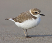 State of the Bird (Western)  Snowy Plover By Kenn Kaufman