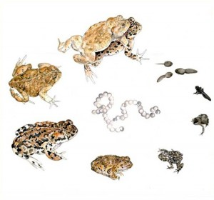 scientific illustration of the life cycle of frogs