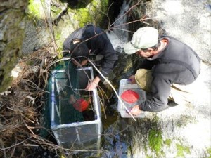 Endangered Frog Eggs Released to NRS Reserve 4