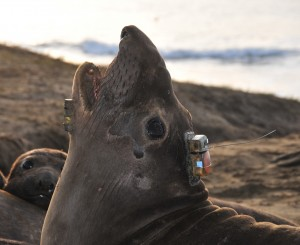 Into the Deep with Elephant Seals 1