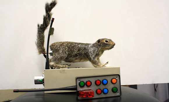 A robotic squirrel and the remote control used to wag and heat its tail. The robot is used to study how live rattlesnakes respond to squirrel behaviors. Image credit: Sanjay Joshi, UC Davis