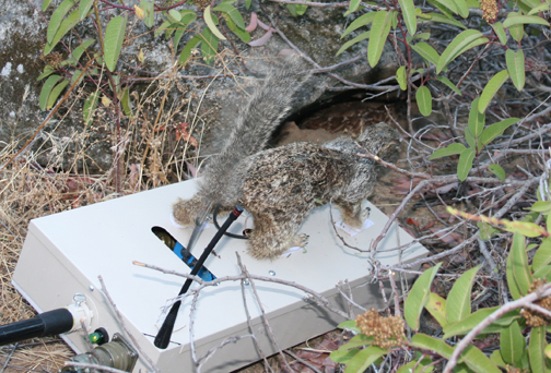 The robotic squirrel flags its tail in front of a hunting, coiled rattlesnake just visible in the bushes. The robot allows scientists to determine how snakes respond to different squirrel defense behaviors.