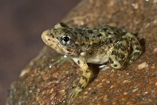 The southern mountain yellow-legged frog is considered the most endangered amphibian in California.