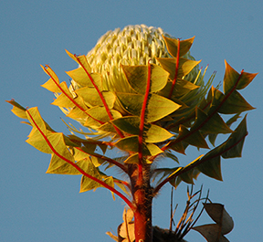 The unique geology of Mediterranean-climate ecosystems strongly influenced the development of native plants such as Banksia baxteri.