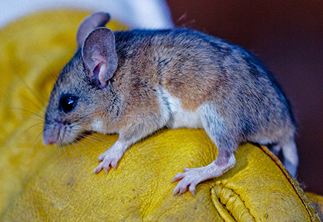 A deer mouse captured for study by Matina Kalcounis-Rueppell at Hastings. Image credit: Lobsang Wangdu