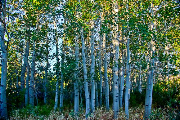 Species trees