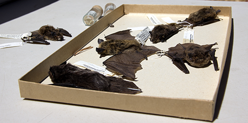 Bat specimens are among the resources available at Sagehen Creek Field Station to help California Naturalist students learn about native wildlife. Image credit: Kathleen M. Wong