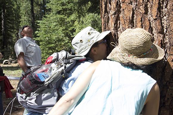 Identifying a Ponderosa pine by its vanilla scene. Image credit: Kathleen M. Wong