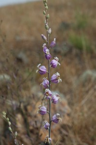 Speciation among jewelflowers, many of which are California endemics, are among the topics to be studied by the 2013-2014 Mathias Grant winners.