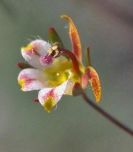 N. tenuis var. aliformis flower