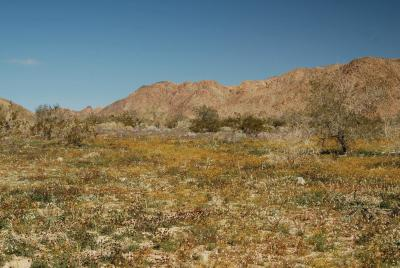 The desert habitat of Eschscholzia androuxii during a heavy flowering year. Image credit: Shannon M. Still