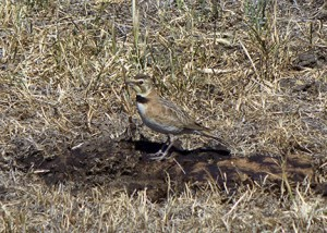 Horned larks (Eremophila alpestris) are plentiful on the reserve. This female will build her nest on the ground and feed her chicks a mixture of worms and arthropods. Image credit: Lobsang Wangdu