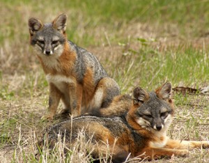 This pair of island foxes (Urocyon littoralis santacruzae) is unique to Santa Cruz Island, the largest of California's Channel Islands. Image credit: Lyndal Laughrin
