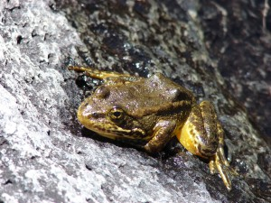 The mountain yellow-legged frog clings to survival in the dry San Jacinto Mountains of southern California. Image credit: Rick Kuyper, USFWS