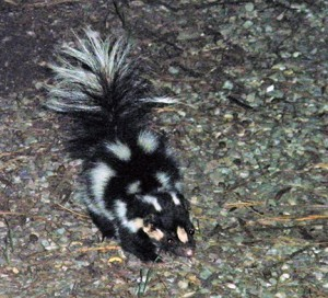 The island spotted skunk (Spilogale gracilis amphiala) is endemic to the two largest California Channel Islands, Santa Cruz and Santa Rosa. Image credit: Lyndal Laughrin