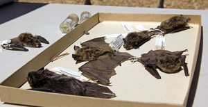 NRS specimen collections, which include these bats at Sagehen Creek Field Station, are among the dark data at reserves being added to databases to aid research. Image credit: Kathleen M. Wong