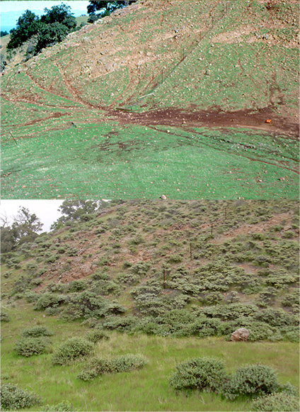 sheep trails and bare expanses of dirt cut into grassland (top); same area is covered by shrubs today (bottom).