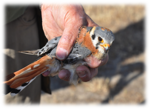 The American kestrel is a small raptor only slightly larger than a robin. Image credit: Chris Swarth