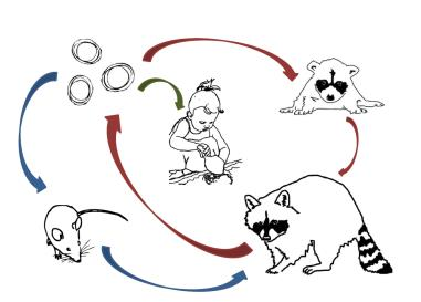 diagram of raccoon roundworm life cycle