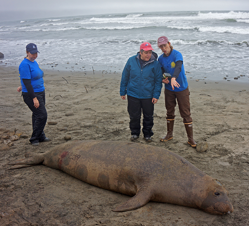 UCSC graduate student Sarah Peterson shows the president a female seal that she sedated to remove its satellite tracking tag.