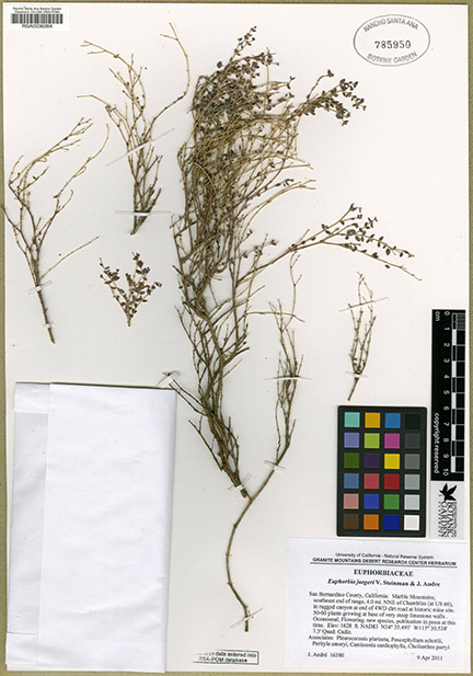 Jim André collected this new-to-science desert plant species in 2011 and helped describe Euphorbia jaegeri in the scientific literature. Image courtesy CCH