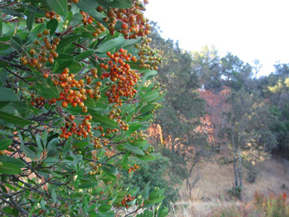 Toyon fruit ripen in fall, when water is often scarce in the soil. When fully mature, this cluster will be bright scarlet. Photo courtesy of Michal Shuldman.