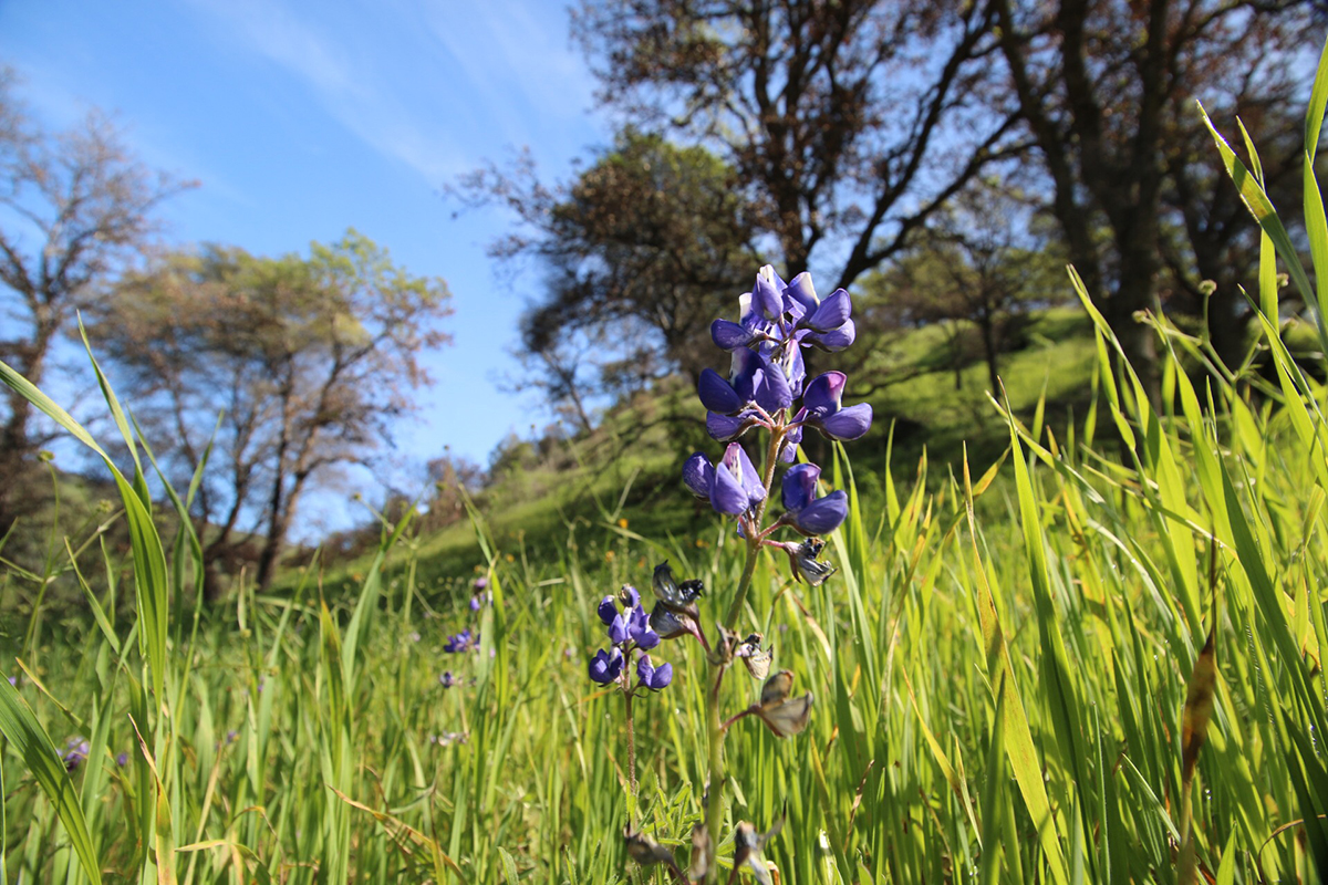 Lupins are among the many new plants flourishing after fire at Stebbins Cold Canyon Natural Reserve. Image credit: Chris Nicolini/UC Davis