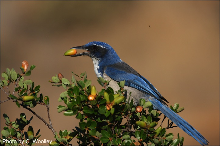 Island jays are growing their own oak forests. Image credit: Chris Woolley